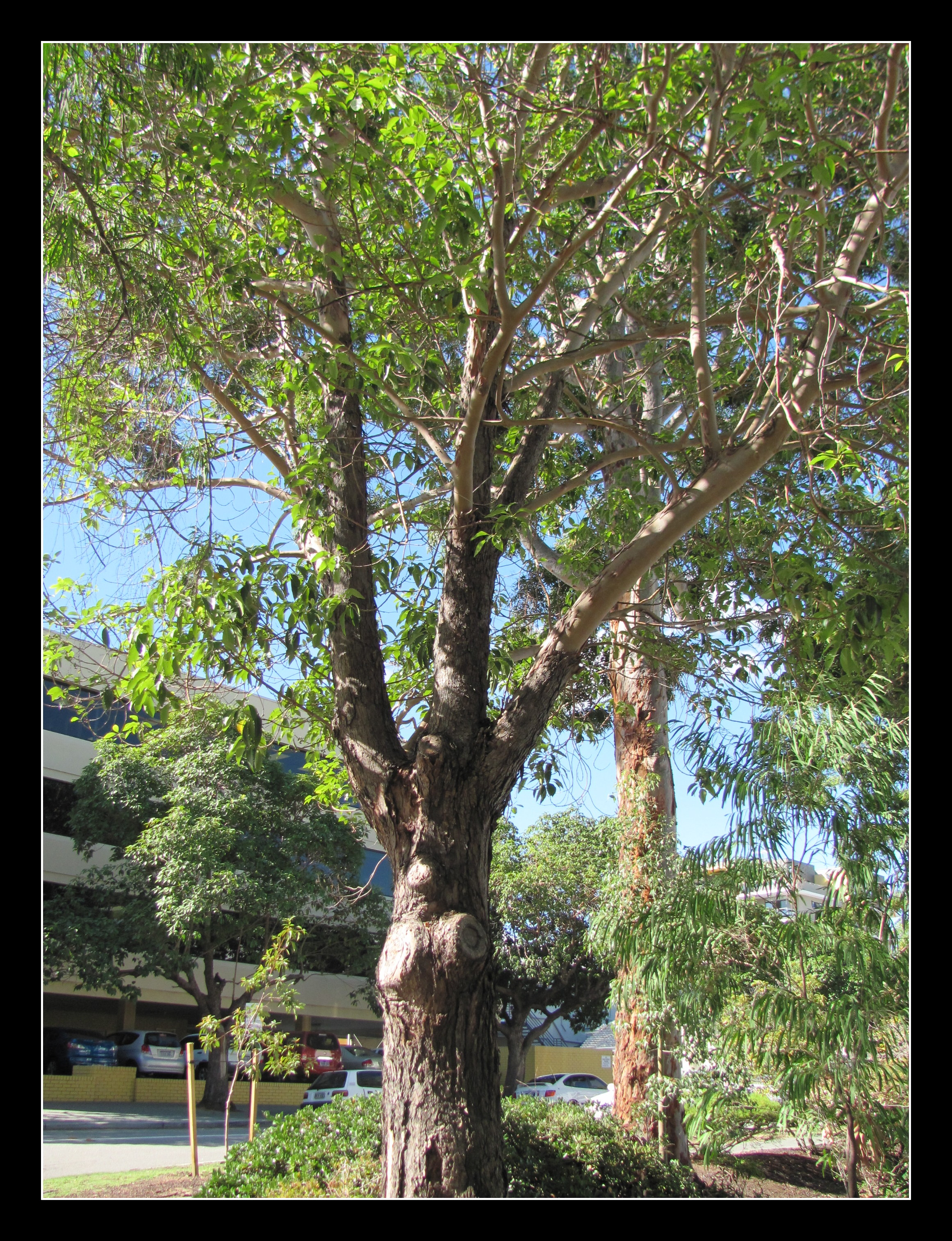 Peppermint Trees « Mtlawleyshire