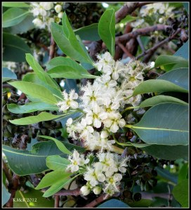box tree blossom