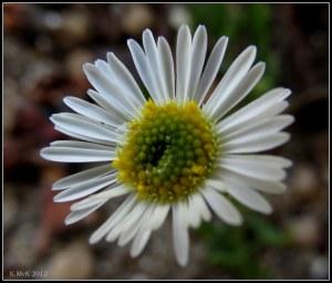 chamomile daisy