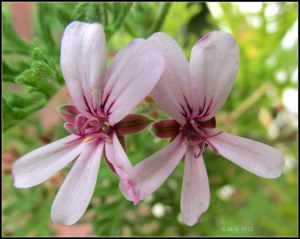 lemon geranium flowers_macro