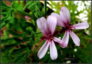lemon geranium flowers_Macro_2