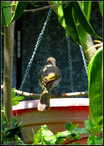 singing honeyeater at the birdbath