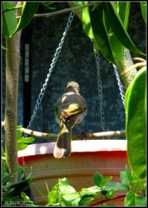 singing honeyeater at the birdbath