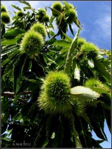 spiky pom-pom tree