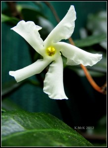 tiny chinese jasmine flower_macro