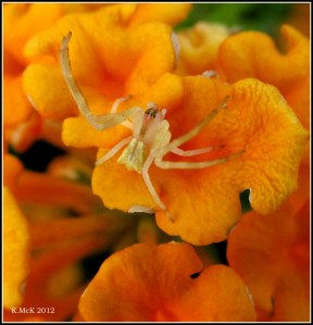 wee pidey on a lantana petal - macro