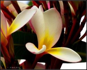 zoomed macro_frangipanni flower