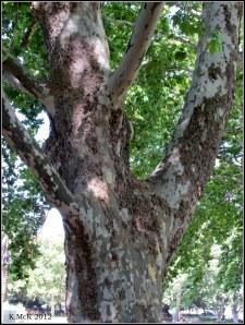 Hyde Park plane tree