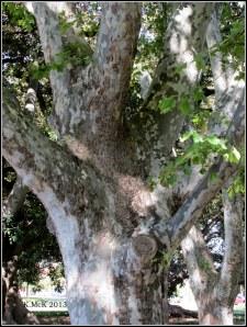 Hyde Park_Plane tree_2