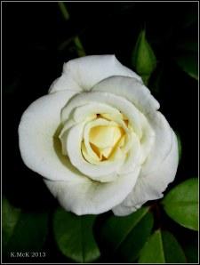inside rose_2