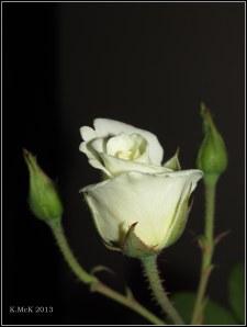 inside rose_3