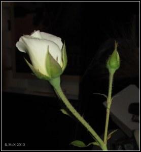 inside rose_4