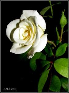 inside rose_5