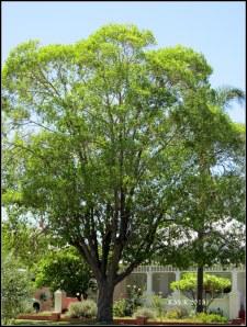 gracious box tree