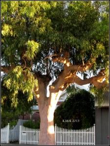 lemon-scented street tree