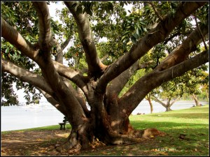 moreton bay fig_matilda bay