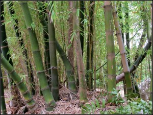 murdoch_bamboo