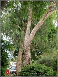 murdoch_trees