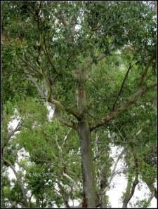 murdoch_trees_1