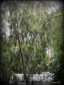 murdoch_trees_2