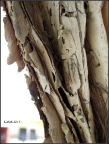 paperbark tree bark_2