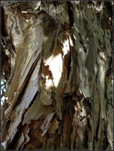 paperbark tree bark_4