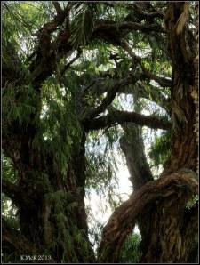 peppermint tree jungle