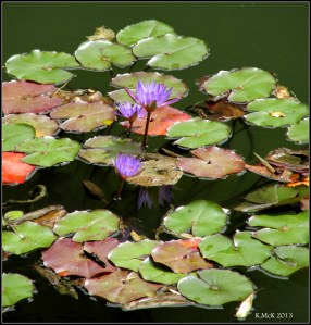 waterlilies_murdoch