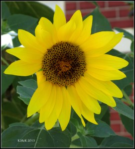 y_sunflower