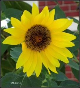 y_sunflower