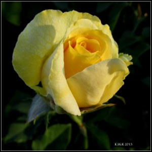 young yellow rose