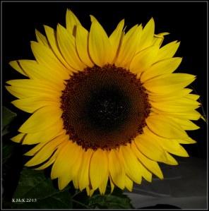 z_sunflower_flash