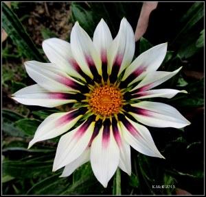 daisy_1