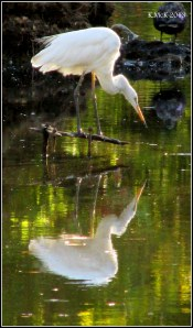 heron_Hyde Park