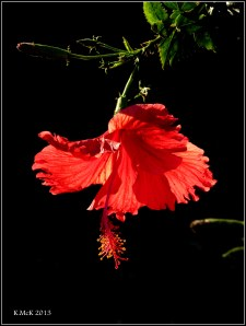 hibiscus in sunlight