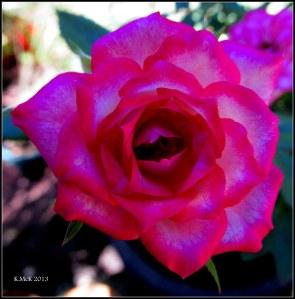 minature rose_1