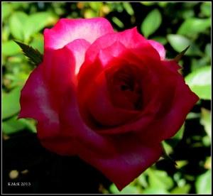 minature rose_2