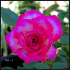 minature rose_3