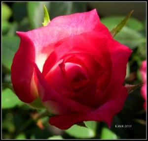 minature rose_5
