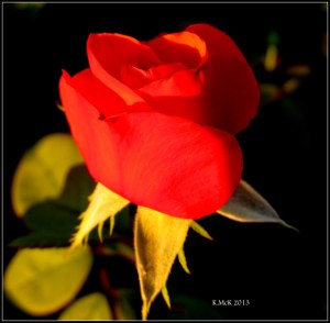 red bud_2