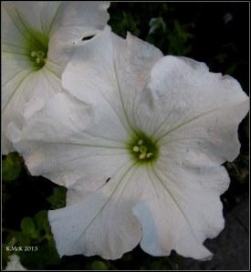 hay st petunia