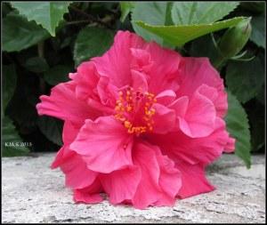 hibiscus_colour