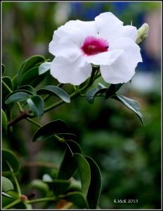 unscented but pretty jasmine