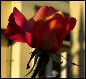 evening rose_1