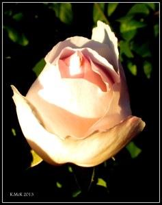 evening rose_2