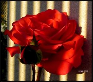 evening rose_4