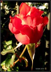 evening rose_5