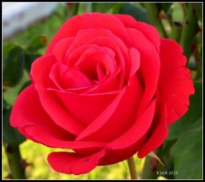 evening rose_6