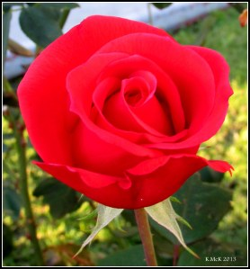 evening rose_8