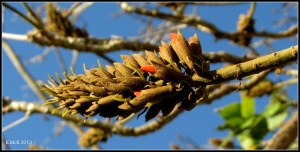 flame tree flower buds